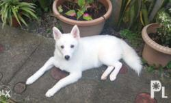 8months old female husky spitz. Rfs: kennel reduction