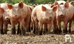 Great business opportunity to purchase this swine farm