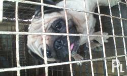 SELLING 2YRS OLD PUG, PROVEN 2 TIME , 1ST 5PUPS , 2ND