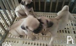 Male Pug Puppies DOB- May 22,2017 DOR- July 22, 2017