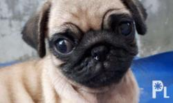 Pug puppies ready for release! Date of birth: March 28,