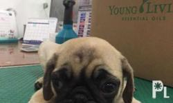 Pug Puppies for Sale! DOB: Feb 17, 2018 3 Male 1