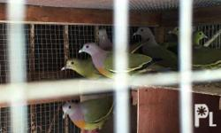 pink neck green pigeon-1500 pair emerald dove -1200