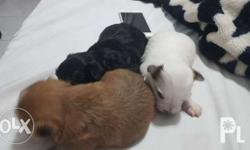 Puppies for sale 2 males mix breed born April 7, 2017