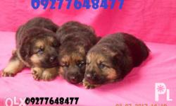 puppies of a german shepherd for sale! massive head,