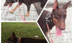 For Sale PURE-BRED DOBERMAN PUPPIES (Open for