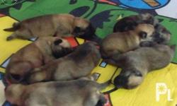 Pure Belgian Pups for sale with 1shot vaccine and