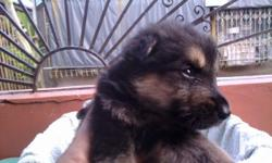 Deskripsiyon PURE BRED GERMAN SHEPHERD PUPPIES NOW FOR