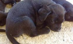 For sale: Pure bred Labrador puppies Five females &