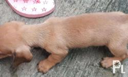 PURE BREED CUTE DACHSHUNDS FOR SALE EXCELLENT FAMILY
