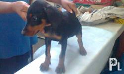 pure breed doberman for sale in bacoor cavite