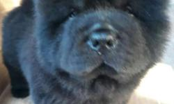 female black chow chow complete vaccine 4x dewormed