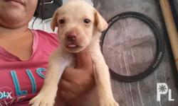 2 breed labrador puppies Swap to your female pug DOB: