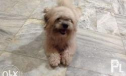 For rush sale Male Pure breed Lhasa apso 11 months