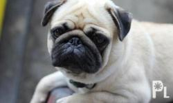 QUALITY PUREBREED PUG FOR SALE!5 LITTERS, 1 MALE