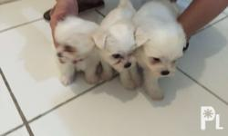 Pure breed Maltese. With papers. 3 females. 1male. DOB