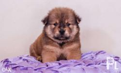 � PURE BREED QUALITY CHOWCHOW � BEAR TYPE Cinammon