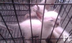 pure breed siamese kittens 2 months old healthy and