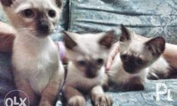 Pure breed siamese kittens DOB: December 23, 2017 All