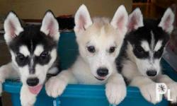 For sale Pure Breed Siberian husky Puppies Male 1-