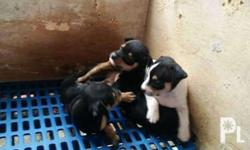 Pure mini pinscher puppies for sale. 1 white male and 2