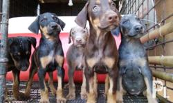 Pure Doberman Puppies for Sale Date of Birth: Sept. 7,