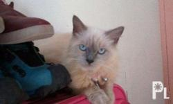Pure himalayan cat Lilac point 10 months Female Indoor