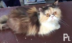 pure persian cat 18months old female diet: whiskas wet