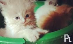 Pure breed persian cat 4 sale. 2female 1male. 2months