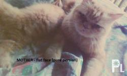 Father - Thick coat blue persian cat Mother - Looks