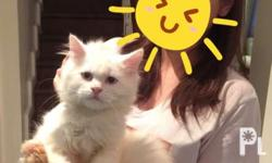 For rehoming 3 months old pure persian kittens. All