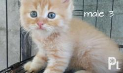 3 male kittens available. 4 female kittens available.
