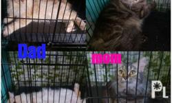 Pure Persian Kittens D.O.B:Feb 17 2018 3 Months old