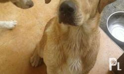 15months Pure breed Labrador. Healthy and active. With