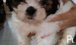 For Sale Pure zhitsu puppy Female Only one puppy