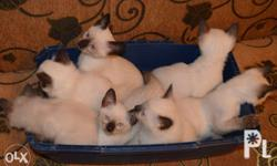 Ready for rehoming our Quality and Healthy Siamese