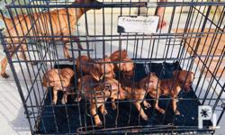 For Sale Purebreed Mini pinscher Puppies Sire (Papa)