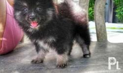 FOR SALE! Purebreed Pomeranian Looking for new home.