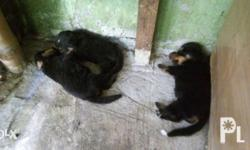 1month old puppy pure breed Rottweiler....and the