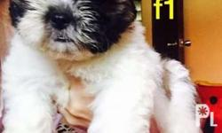 SHIHTZU PUPS IS LOOKING fOR A NEW HOME!!! DOB: May