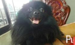 Small type blk pomeranian for sale two years old