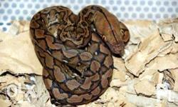 Retic, around 3ft long Eats mice and chick 1st photo