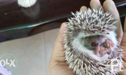 Quality and healthy Hedgehogs for sale Fed with whiskas