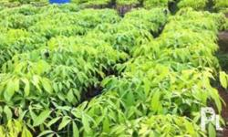 We are selling budded rubber seedling and budded stump