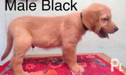 2 male golden retriever Updated vaccine and deworm With