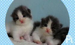 �Colins Persian kittens� Pure Quality Persian
