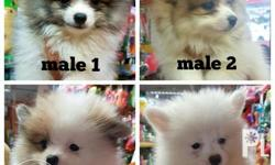 Pure Pomeranian Puppies DOB: April 20, 2.5mos old Ready