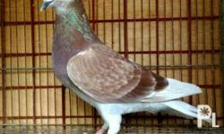 Quality Racing Pigeons for Sale in Imus, Calabarzon Classified