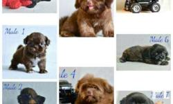 AVAILABLE QUALITY SHIH TZU PUPPIES P5,000 (Reservation