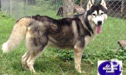 Mother Farm Kennel Quality STUD SERVICE for Siberian